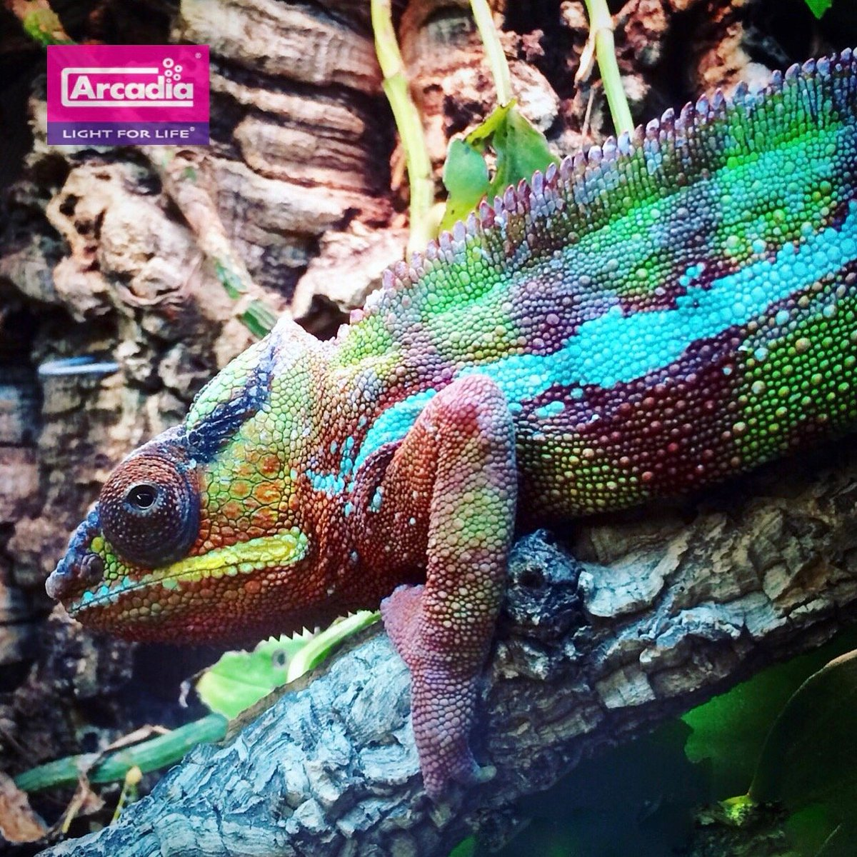 arcadia reptile arcrepofficial twitter