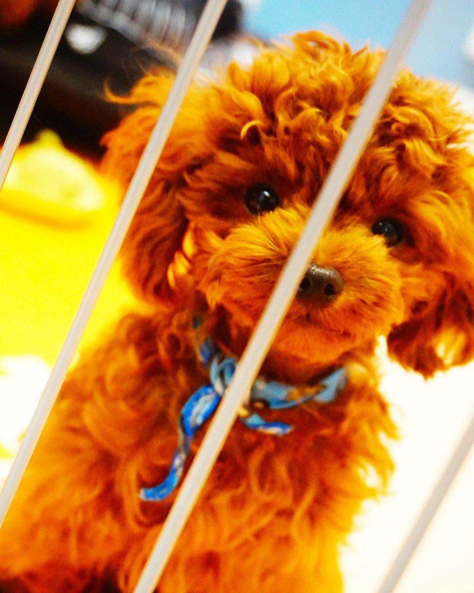 test ツイッターメディア - この顔でいつも覗いてきます👀❤️ 可愛さアピール👼✨   いぬのきもち#犬ばか部#犬カフェ#犬すたぐらむ#犬のいる暮らし#黒柴#豆柴#柴すたぐらむ#柴犬#プードル#犬好きな人と繋がりたい#東京#秋葉原#インスタ映えスポット https://t.co/ZjvtcAZzXT