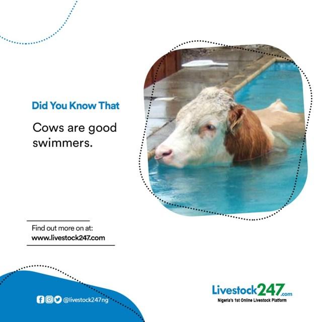 livestock247ng photo