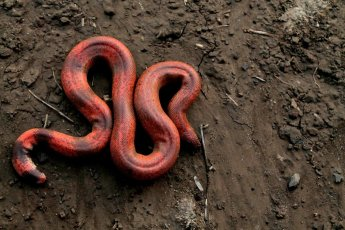 """Sneha Dharwadkar on Twitter: """"This is a juvenile of the Red sand boa.  Striking, isn't it? Did you know, the Red sand boa is called 'do-muha saap'  meaning double-headed snake in Hindi."""