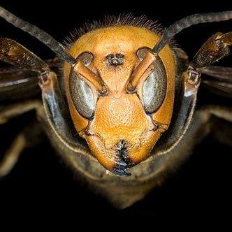 geting giant hornet twitter