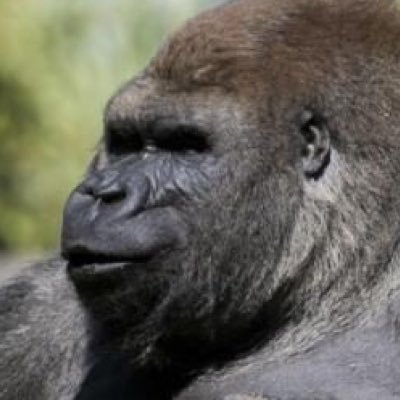 bantu the gorilla on