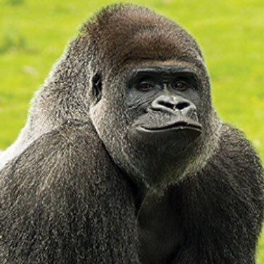 bantu the gorilla gorilla