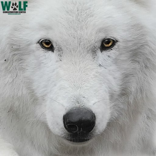 wolf conservation center on