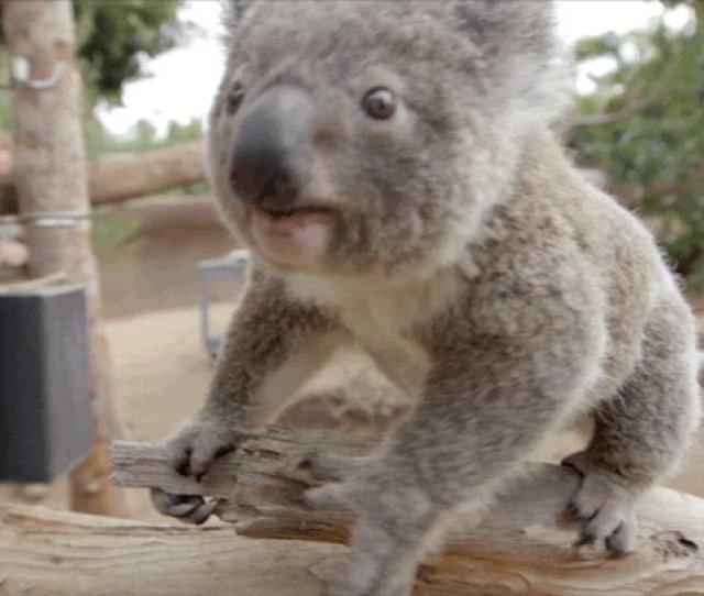 Koala Goes Fishing On Aussie River Bank
