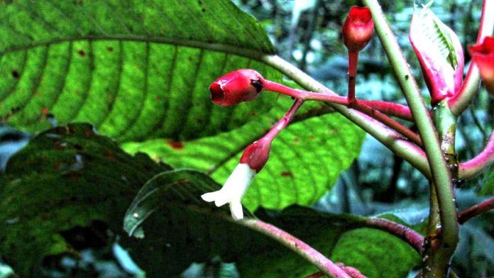 Honduras coffee tree species