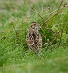 lapland-bunting-bryher-27102016