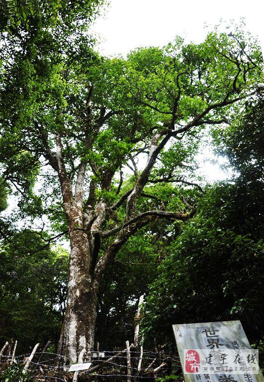 云南古茶樹攝影展示_云南古茶樹攝影圖片下載