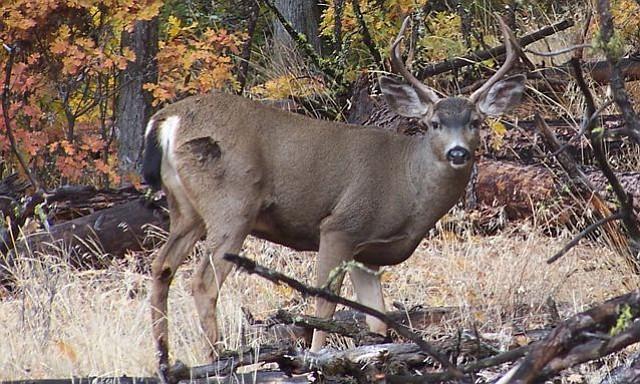 Rattling no guarantee for blacktail deer  The Columbian
