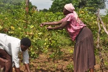 Passionfruit Harvest