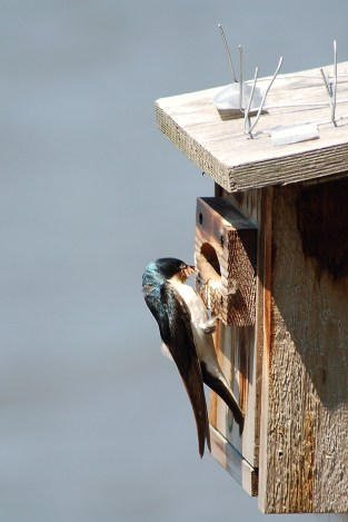 Tree Swallow (at nest)