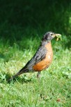 American Robin, with tasty treats, mostly green (male?)