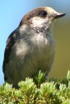 Grey_Jay-front-Whistler-2012-08-03