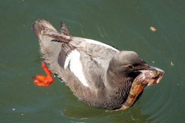 Pigeon Guillemot with tasty treat (taken in North Vancouver)