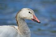 Snow Goose (juvenile?)