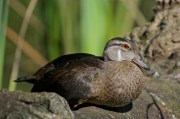 Wood Duck (immature male) | Canard branchu | Aix sponsa