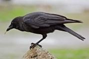 Northwestern Crow | Corneille d'Alaska | Corvus caurinus