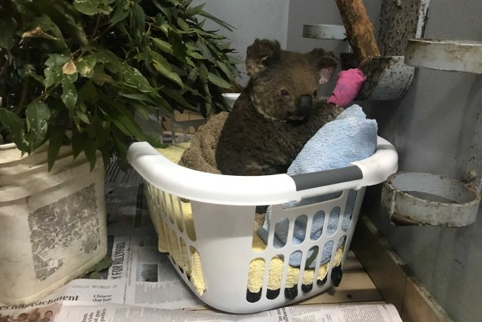 A koala who survived the out-of-control bushfire south of Port Macquarie. (ABC Mid North Coast: Wiriya Sati)