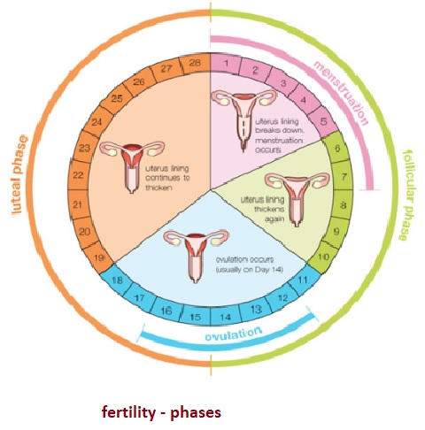 phases of fertility