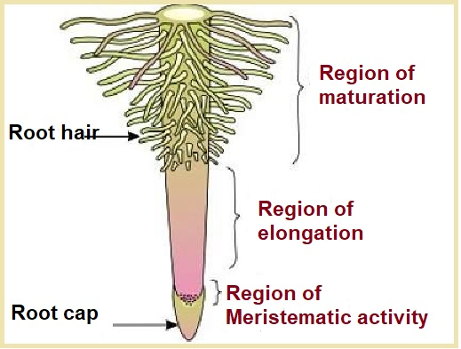 structure of root
