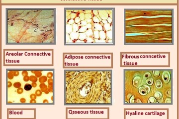 connective tissues