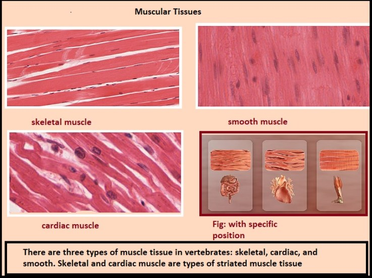 muscles tissues