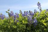 Bluebonnets on the drive by Lake Buchanan