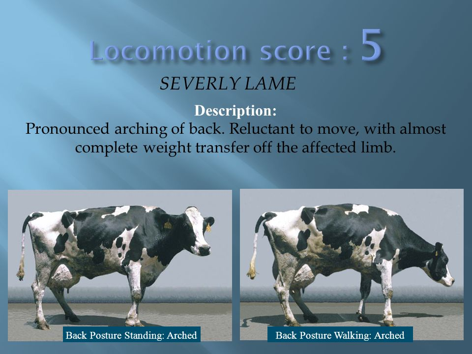 Locomotion score 5 SEVERLY LAME Description