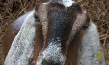 Goat Medicine and Surgery PDF