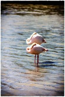 Two Flamingos resting