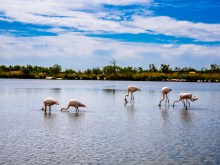 Flamingoes searching for food