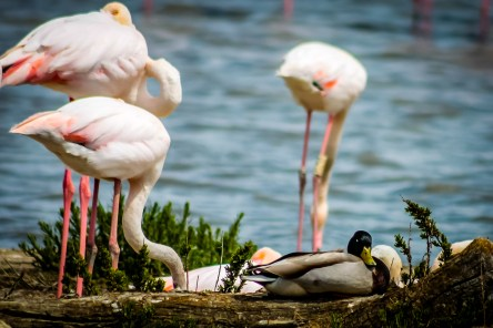 A duck put herself among the flamingo group!