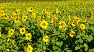 Sunflower field, Germany
