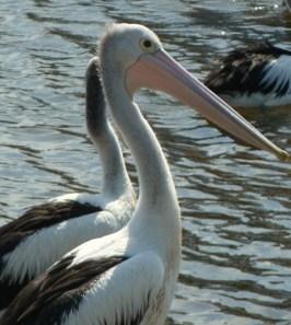 Pelicans, Port Macquarie, Australia