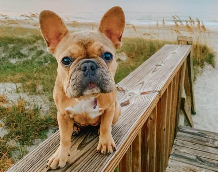 cute pug at the beach in emerald Isle nc
