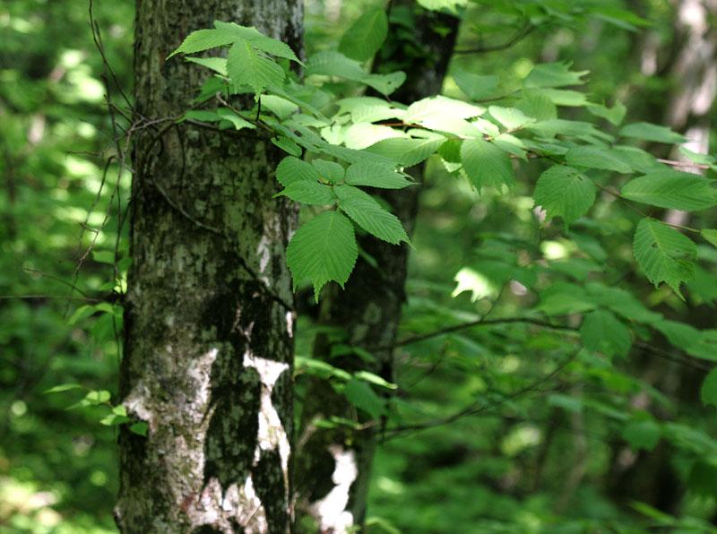 オヒョウ Ulums laciniata : 鳥平の自然だより(植物編)