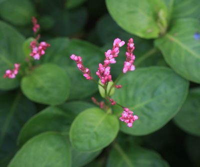 藍(アイ) : 古來,日本で染料・生薬として利用されている植物まとめ。 - NAVER まとめ