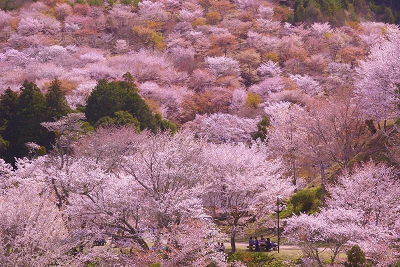 「吉野千本桜2019」の画像検索結果