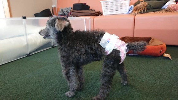 高齢犬 プー子ちゃんのマッサージ_a0286340_21575722.jpg