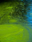 Algae on water in bird sanctuary