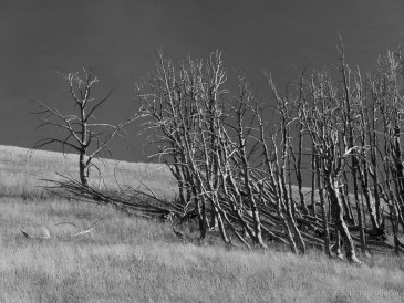 Dead trees on slope of Mount Washburn