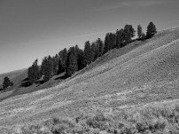 Trees on slope in Lamar Valley