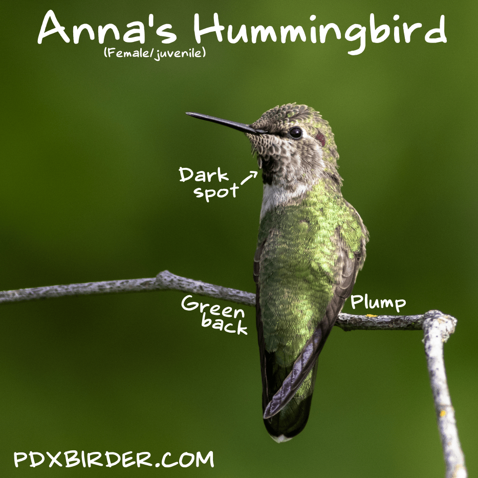 West Coast Hummingbirds