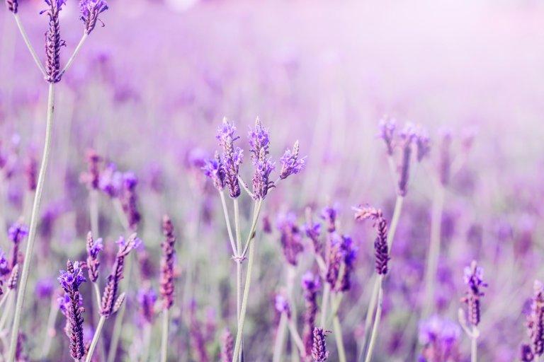Linalool Lavender Terpene