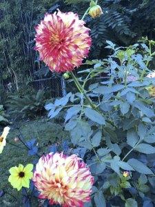 Dahlias growing in a Portland neighborhood