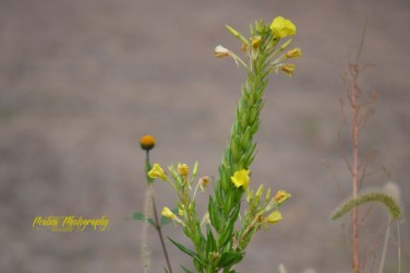 tall green yellow weed