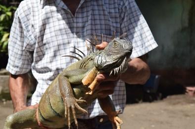 20 iguanas