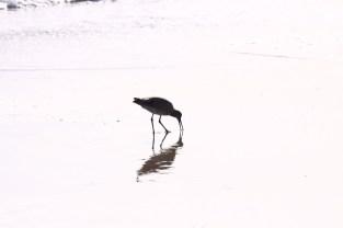 Sole Sanderling