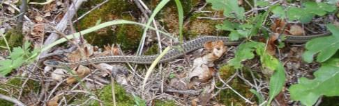 Friendly Garter Snake