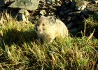 Another Fury Friend, The Pika